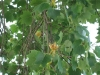 liridendron-tulipifera