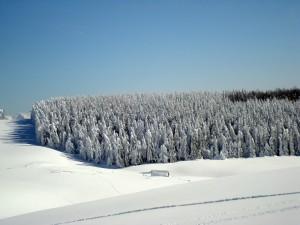 padure de brazi iarna