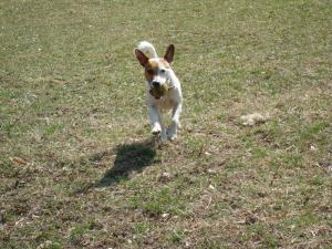 JRT Rocco In alergare