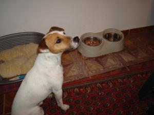 Jack Russell Terrier in asteptarea mesei