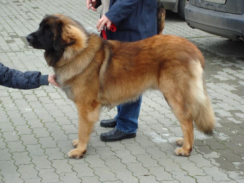 Ciobanesc Caucazian