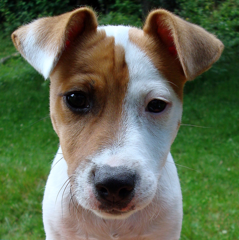 Jack Russell Terrier - Rocco