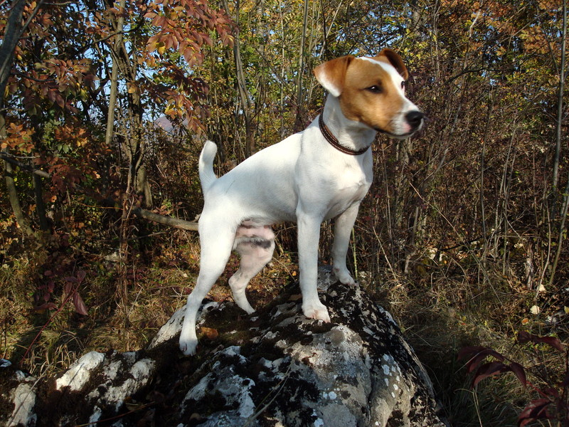 ROCCO - un Jack Russell Terrier