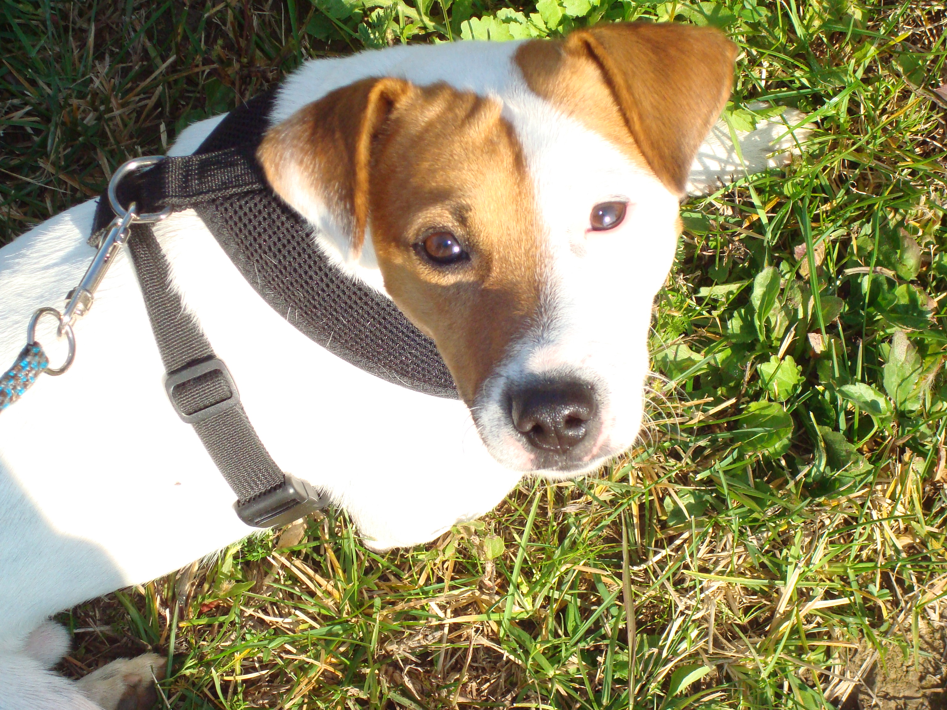 Rocco, un Jack Russell Terrier