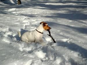 Jack Russell Terrier la zapada